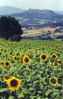Todi & Sunflowers